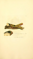 Coloured Figures of English Fungi or Mushrooms - t. 356.png