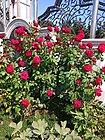 Colours of Earlier Autumn- Rosa Chinensis (Chinese Rose).jpg