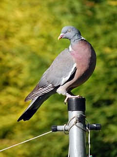 Columba palumbus -England -perching on washing line post-8.jpg
