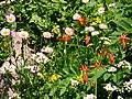 Columbine, arnica, daisy, etc. (ad5724e765804c45b0368fc4cb584c32).JPG