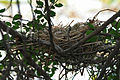 Common Coot (Fulica atra) nest in Hyderabad W IMG 8506.jpg