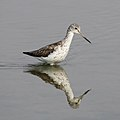 Common Greenshank, Tringa nebularia (I think) at Borakalalo National Park (25081215708).jpg
