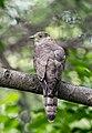 Common Hawk Cuckoo - Flickr - Koshyk.jpg