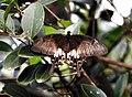Common Mormon Papilio polytes female by Raju Kasambe DSCN1583 (2).jpg