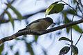 Common Newtonia - Ankarafantsika - Madagascar S4E9675 (15111239150).jpg