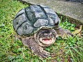 Common Snapping Turtle (36290540871).jpg