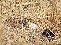 Common Snipe (Gallinago gallinago) (34005392635).jpg