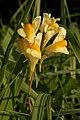 Common Toadflax (Linaria vulgaris) - Kitchener, Ontario.jpg