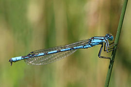 Common blue damselfly (Enallagma cyathigerum) male.jpg