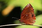 Common palmfly (Elymnias hypermnestra baliensis) Bali I.jpg