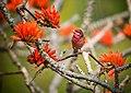 Common rosefinch.jpg