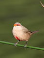 Common waxbill, Estrilda astrild, at Rietvlei Nature Reserve, Gauteng, South Africa (22166458303).jpg