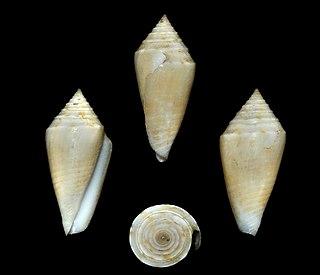 <i>Conasprella agassizi</i> Species of gastropod
