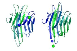 Circular permutation in proteins - Image: Concanavalin A vs Lectin