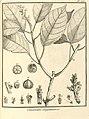 Conceveiba guianensis Aublet 1775 pl 353.jpg