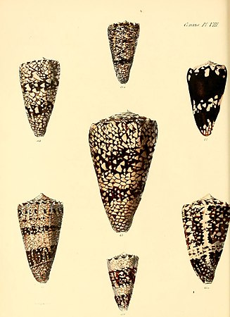 Conchologia iconica, or, Illustrations of the shells of molluscous animals (Conus, Plate 8) (6029519519).jpg