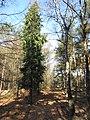 Coniferen in het bos (30804865100).jpg