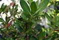Conocarpus erectus 0zz.jpg