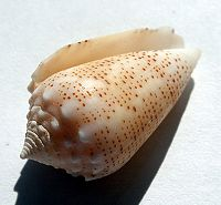 Conus arenatus.shell001