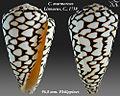 Conus marmoreus 1.jpg