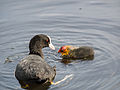 Coot, with young (14193973200).jpg