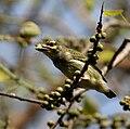 Coppersmith Barbet (Megalaima haemacephala) feeding on Ficus religiosa W IMG 8204.jpg