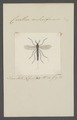 Corethra - Print - Iconographia Zoologica - Special Collections University of Amsterdam - UBAINV0274 038 03 0002.tif