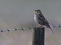 Corn Bunting (Emberiza calandra), Castro Verde, Alentejo, Portugal (47693679262).jpg
