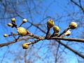 Cornus mas flower buds3.jpg