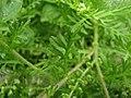 Coronopus didymum leaf (01).jpg