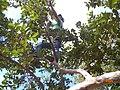 Cortando Guayabas - panoramio.jpg