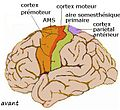 Cortex sensorimoteur1.jpg