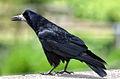 Corvus frugilegus -Cookridge, Leeds, England-8 (1).jpg