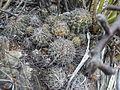 Coryphantha dificilis (5658830412).jpg