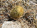 Coryphantha erecta (5734588728).jpg