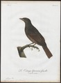 Cotinga cayana - 1801 - Print - Iconographia Zoologica - Special Collections University of Amsterdam - UBA01 IZ16600085.tif