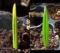 Cotyledon Chamaerops humilis4-tile.jpg