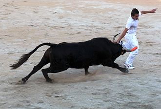 Camargue cattle - Bullock and razeteur in the course camarguaise