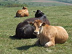 Cows in mountain.JPG