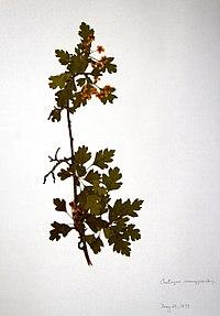 Crataegus monogyna BW-1979-0529-0600.jpg