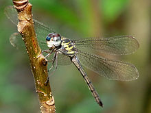 Cratilla lineata male 2 by kadavoor.jpg