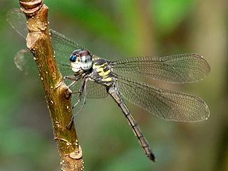 <i>Cratilla lineata</i> species of insect