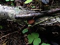 Crepidotus crocophyllus 33182948.jpg