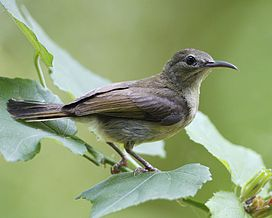 Crimson Sunbird - female.jpg