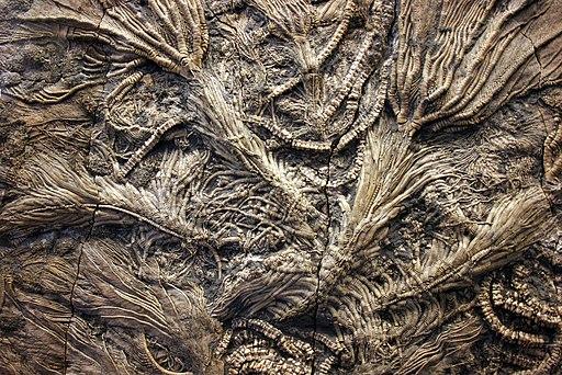 Crinoid Fossils of Jurassic