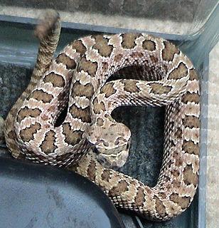 <i>Crotalus viridis</i> species of venomous pit viper