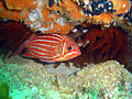 Crown squirrelfish at North Sands DSC05777a.jpg