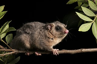 Tates woolly mouse opossum species of mammal