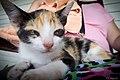 Cuban calico kitten (5974083395).jpg