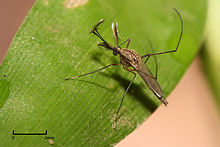 Mosquito perched on a green leaf